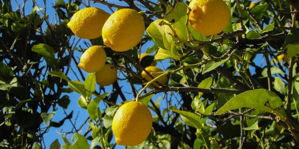 Die verschiedene Limonaie in Limone sul Garda